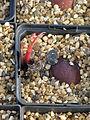 Aesculus californica germinations (11891129494).jpg