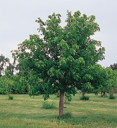 Aesculus glabra