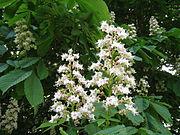 Aesculus hippocastanum (1)