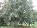 Aesculus wilsonii (Jardin des Plantes de Paris).jpg