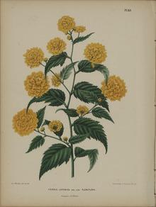 Kerria Japonica Wikipedia