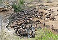 African Buffaloes (Syncerus caffer) drinking ... (32225027161).jpg