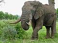 African Elephant (Loxodonta africana) bull ... (32442697177).jpg