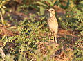 African Pipit, Anthus cinnamomeus, at Mapungubwe National Park, Limpopo, South Africa (18128927289).jpg