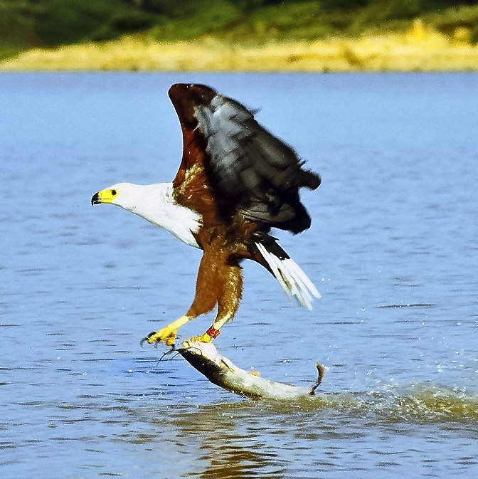 African fish eagle just caught fish