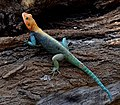 Agama agama male on a log in the garden of the Ashnil Aruba Lodge in the Tsavo East National Park, Kenya (edited).jpg