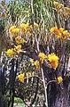 Agavaceae, Mt Coot-tha Botanic Gardens, Toowong 100 9725.jpg