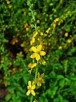 Agrimonia eupatoria 001