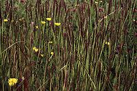 Agrostismicrophylla.jpg