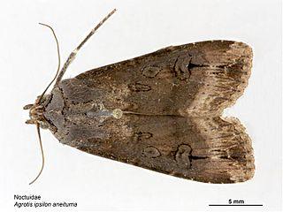 <i>Agrotis ipsilon</i> species of insect