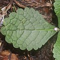 Ajugoides humilis (leaf s9).jpg