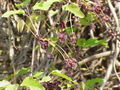 Akebia trifoliata4.jpg