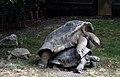Aldabra mating 3.JPG