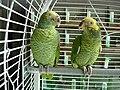 Alipiopsitta xanthops -two captive-8a.jpg