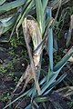 Allium ampeloprasum var. porrum with Erwinia carotovora subsp. carotovora (04).jpg