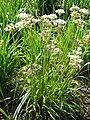 Allium obliquum (Alliaceae) plant.JPG