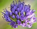 Allium senescens 'Huteri' 4410.jpg