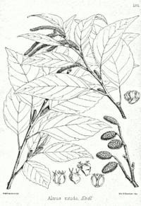 Alnus nitida Bra57