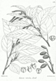 Alnus nitida Bra57.png