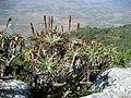 Aloe arborescens - Vumba 2 (10230438033).jpg