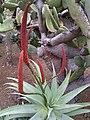 Aloe ferox - Madeira 1.jpg