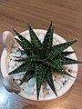 Aloe pepe in small vase.jpg