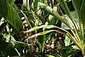 Alpinia zerumbet 43zz.jpg