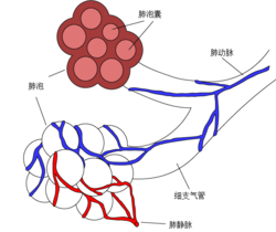Alveoli diagram zh.png