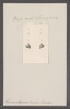 Alycaeus otiphorus - - Print - Iconographia Zoologica - Special Collections University of Amsterdam - UBAINV0274 091 06 0009.tif
