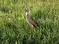 Amaurornis phoenicurus Taitung.jpg