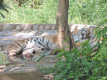 Amazing tigers.jpg