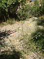Ambrosia acanthicarpa 7.jpg