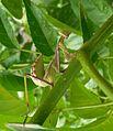 Ameles spallanzania.^ Mantidae - Flickr - gailhampshire.jpg