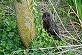 American Mink (Neovison vison) (26545699206).jpg