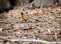 American Robin in Woods.jpg