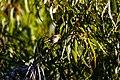 American goldfinch (39207217771).jpg