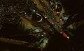 American lobster, Homarus americanus in Newfoundland, Canada (20996277348).jpg