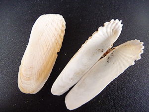 Mollusc shell - Closed and open shells of a marine bivalve, Petricola pholadiformis. A bivalve shell is composed of two hinged valves which are joined by a ligament.