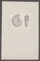 Ammonites spec. - - Print - Iconographia Zoologica - Special Collections University of Amsterdam - UBAINV0274 091 01 0007.tif
