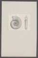 Ammonites spec. - - Print - Iconographia Zoologica - Special Collections University of Amsterdam - UBAINV0274 091 01 0012.tif