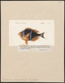 Amphiprion chrysogaster - 1817-1841 - Print - Iconographia Zoologica - Special Collections University of Amsterdam - UBA01 IZ13900244.tif
