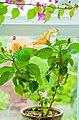 An indoor sub-tropical kitchen garden. In Yorkshire. (4884358342).jpg