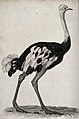 An ostrich. Etching by J. Le Keux. Wellcome V0020724.jpg