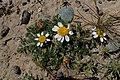 Anacyclus pyrethrum kz09.jpg