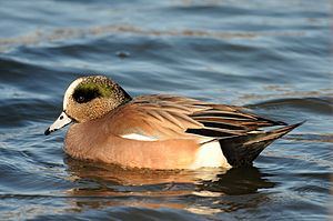 American wigeon - Male in winter plumage in New Jersey, USA