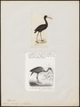 Anastomus lamelligerus - 1700-1880 - Print - Iconographia Zoologica - Special Collections University of Amsterdam - UBA01 IZ17600073.tif