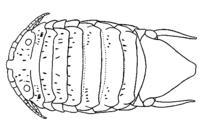 Ancinus depressus.png