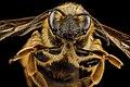 Andrena hilaris, F, face, Maryland, Anne Arundel County 2012-12-19-14.59 (43212976301).jpg