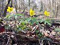 Anemone ranunculoides sl7.jpg