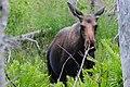 Angry Moose (20631831215).jpg